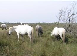 Francie - Provence - Camargue, proslavení bílí koně