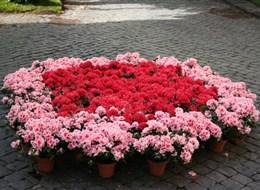 Itálie - Viterbo - květinové slavnosti San Pellegrono in Fiore