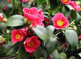 Německo - Drážďany - Pillnitz, kvetoucí kamélie ukrytá ve skleníku těžkém 54 tun,ten  se na léto odsouvá, v zimě kamélii chrání a udržuje teplotu 6-10°