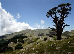Itálie - národní park Polino, impozantní stromy borovice bělokoré má NP i ve znaku