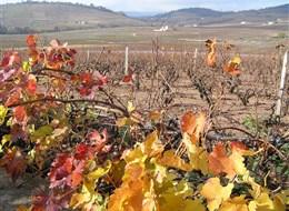 Beaujolais a Burgundsko, kláštery a slavnost vína 2020  Francie - Beaujolais - vinice Château Moulin a Vent, hlavy roubovány na amer.podnož kvůli fyloxeře (révokaz).