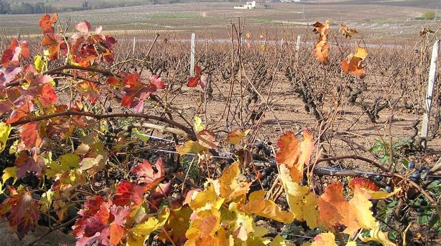 Beaujolais a Burgundsko, kláštery a slavnost vína 2022  Francie - Beaujolais - vinice Château Moulin a Vent, hlavy roubovány na amer.podnož kvůli fyloxeře (révokaz).