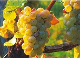 Babí léto, tajemné jeskyně Slovinska a Itálie, víno a mořské lázně Laguna 2020  Slovinsko - na vinicích dozrává víno