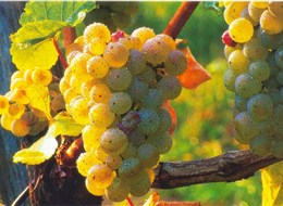 Babí léto, tajemné jeskyně Slovinska a Itálie, víno a mořské lázně Laguna 2022 Slovinsko Slovinsko - na vinicích dozrává víno