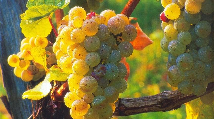 Babí léto, tajemné jeskyně Slovinska a Itálie, víno a mořské lázně Laguna 2022  Slovinsko - na vinicích dozrává víno