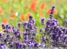 Francie - Provence - regionální přírodní park Lubéron - kraj co voní levandulí