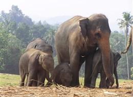 Srí Lanka, tropický ráj zvířat 2020  Sri Lanka - Pinnewalle - sloní školka