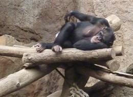 Německo - Lipsko - Gondwanaland, k vidění šimpanzi, orangutani i gorily