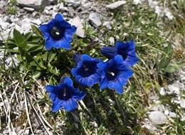 Montafon, rozkvetlá alpská zahrada 2021 Alpy Rakousko - údolí Montafon a nádherná květena jeho horských luk