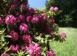 Kromlau, Bad Muskau a Nochten, zahradní ráj 2020 Sasko Německo - Kromlau - v době květu rododendronů je to tu pastva pro oči