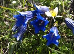 Údolí Glemmtal, svět salcburských hor 2021 Alpy Rakousko - NP Vysoké Taury oplývá nádherou horských květin