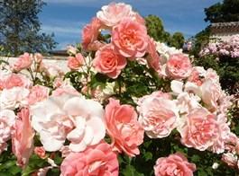 Berlín, biosferická rezervace UNESCO a slavnost růží v Rosariu 2021  Německo - Europa-Rosárium, ráj pro milovníka růží