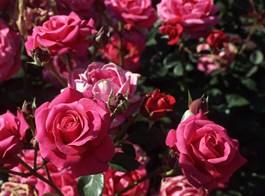 Kvetoucí Haná, Kroměříž, Olomouc a výstava Vyznání růžím 2021  OLOMOUC - Růžová zahrada, Rozarium - Vyznání růžím
