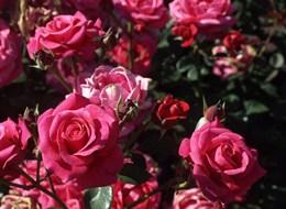 Kvetoucí Haná, Kroměříž, Olomouc a výstava Vyznání růžím 2021 Česká republika OLOMOUC - Růžová zahrada, Rozarium - Vyznání růžím