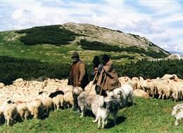 Krásy Zakarpatské Rusi 2020 Ukrajina Ukrajina - Podkarpatská Ukrajina - na poloninách se pasou ovce